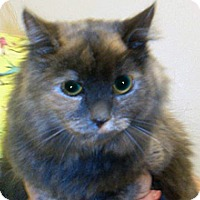 Domestic Shorthair Cat for adoption in Wildomar, California - Tinkerbell