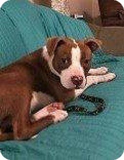 Boxer Mix Dog for adoption in Hampton, Virginia - HARLEY