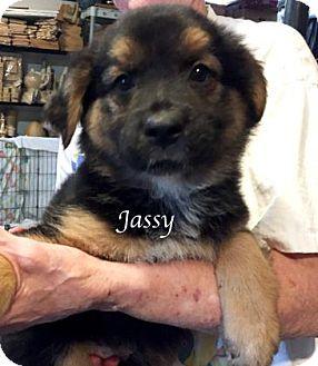 Bluetick Coonhound/Hound (Unknown Type) Mix Puppy for adoption in Kansas City, Missouri - Jassy