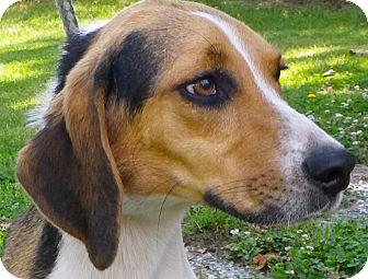 Beagle Mix Dog for adoption in Metamora, Indiana - Hunter