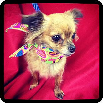 Chihuahua Dog for adoption in Hazard, Kentucky - Zsa Zsa