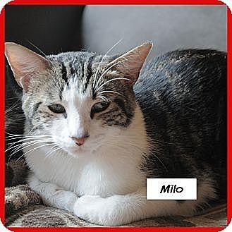 Domestic Shorthair Cat for adoption in Miami, Florida - Milo