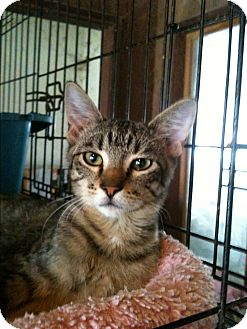Domestic Shorthair Kitten for adoption in Madisonville, Louisiana - Iggy