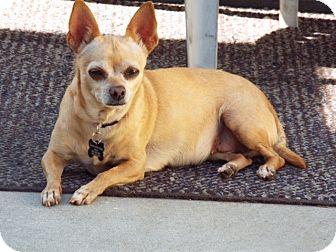 Chihuahua Mix Dog for adoption in Redondo Beach, California - Lola the Chi