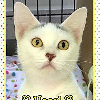 Domestic Shorthair Cat for adoption in Atco, New Jersey - Hazel