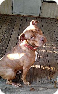 Pit Bull Terrier Mix Dog for adoption in Charlotte, North Carolina - Cali - Courtesy Listing