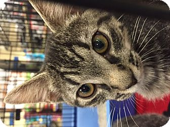 Domestic Shorthair Kitten for adoption in Chattanooga, Tennessee - Destiny
