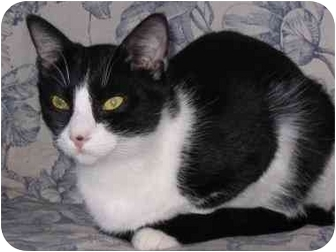 Domestic Shorthair Cat for adoption in AUSTIN, Texas - Henry