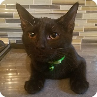 Domestic Shorthair Kitten for adoption in Hainesville, Illinois - Kumquat