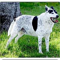 Australian Cattle Dog/Cattle Dog Mix Dog for adoption in Sacramento, California - Cowboy Hank companion dog