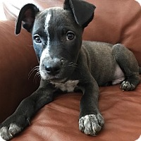Adopt A Pet :: Frankie - Fort Collins, CO