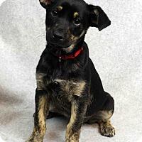 Adopt A Pet :: Lilah - Westminster, CO