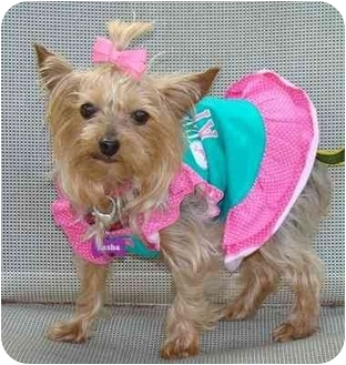 Yorkie, Yorkshire Terrier Dog for adoption in Tallahassee, Florida - Jenni