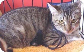 Domestic Shorthair Kitten for adoption in Miami, Florida - Lunchmoney