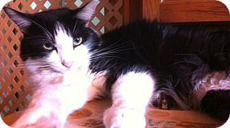 Domestic Longhair Cat for adoption in Jacksonville, Florida - Jasmine