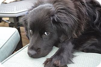 Spaniel (Unknown Type)/Labrador Retriever Mix Dog for adoption in Raleigh, North Carolina - JAYDA