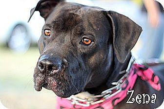 Pit Bull Terrier Mix Dog for adoption in Wichita Falls, Texas - Zena