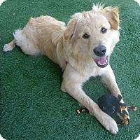 Adopt A Pet :: Cowboy - Santa Ana, CA