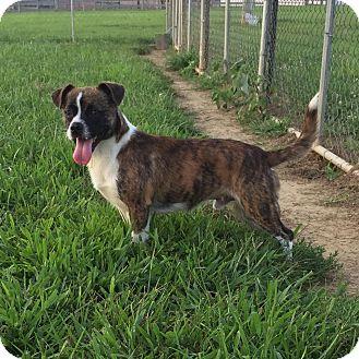 Boston Terrier/Pug Mix Dog for adoption in Russellville, Kentucky - Jeffery