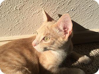 Domestic Shorthair Cat for adoption in Seattle, Washington - Sandy