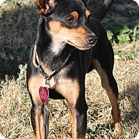 Adopt A Pet :: Scooby - Winters, CA