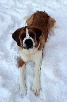 St. Bernard Mix Dog for adoption in Denver, Colorado - Spirit
