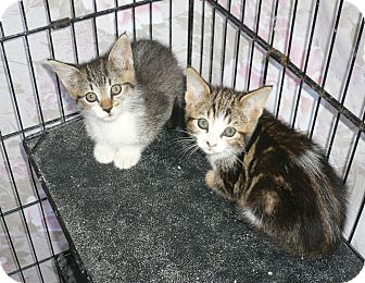 Domestic Shorthair Kitten for adoption in lake elsinore, California - Kittens2