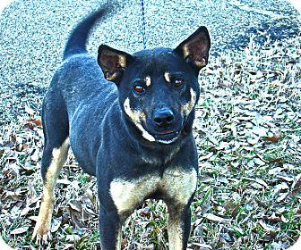 German Shepherd Dog/Retriever (Unknown Type) Mix Dog for adoption in Groton, Massachusetts - Lady