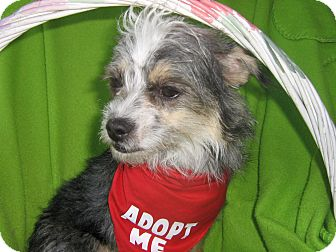 Cairn Terrier/Yorkie, Yorkshire Terrier Mix Dog for adoption in Irvine, California - Adelle-WATCH MY VIDEO!!!