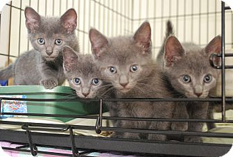 Russian Blue Kitten for adoption in Trevose, Pennsylvania - Russian Blue Litter