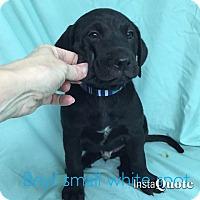 Adopt A Pet :: Whitman - Cumming, GA