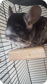 Chinchilla for adoption in Patchogue, New York - Muffin