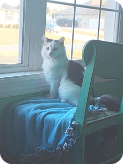 Domestic Mediumhair Cat for adoption in Nashville, Tennessee - Tommie