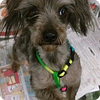 Yorkie, Yorkshire Terrier/Toy Poodle Mix Dog for adoption in Pembroke, Georgia - Blue