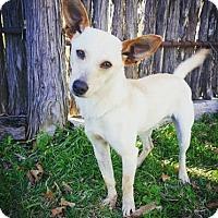 Adopt A Pet :: Astro - Fredericksburg, TX