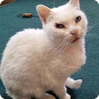 Adopt A Pet :: Snowball - Duluth, MN