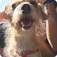 Adopt A Pet :: Sydney - Henderson, NV