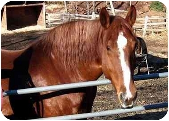 Draft/Quarterhorse Mix for adoption in Washington, Connecticut - Sweet Pea