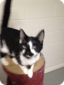 Domestic Shorthair Cat for adoption in Wenatchee, Washington - Freddy