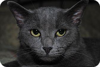 Russian Blue Cat for adoption in Monroe, North Carolina - Lexi