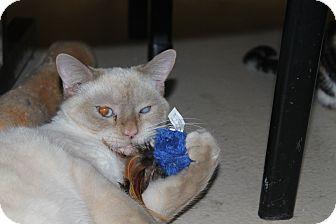 Siamese Cat for adoption in North Branford, Connecticut - Duchess