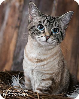 Domestic Shorthair Cat for adoption in Eagan, Minnesota - Daisy