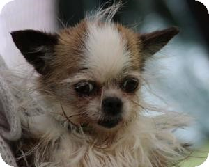Chihuahua/Shih Tzu Mix Dog for adoption in South Amboy, New Jersey - Itsy