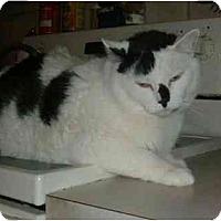 Adopt A Pet :: Mr. Elvis - Bedford, MA