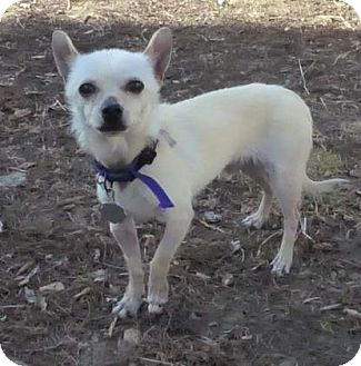 Chihuahua Mix Dog for adoption in Evans, Colorado - Owen