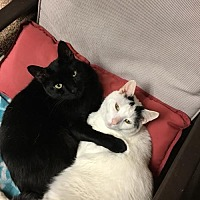 Domestic Shorthair Cat for adoption in New City, New York - Benjamin & Adorno