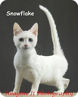 Domestic Shorthair Cat for adoption in Oklahoma City, Oklahoma - Snowflake
