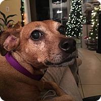 Adopt A Pet :: SUGAR ( KW) - Tampa, FL