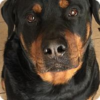 Adopt A Pet :: Rocco - Gilbert, AZ