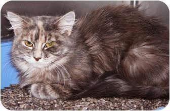 Domestic Longhair Cat for adoption in Chicago, Illinois - Paris